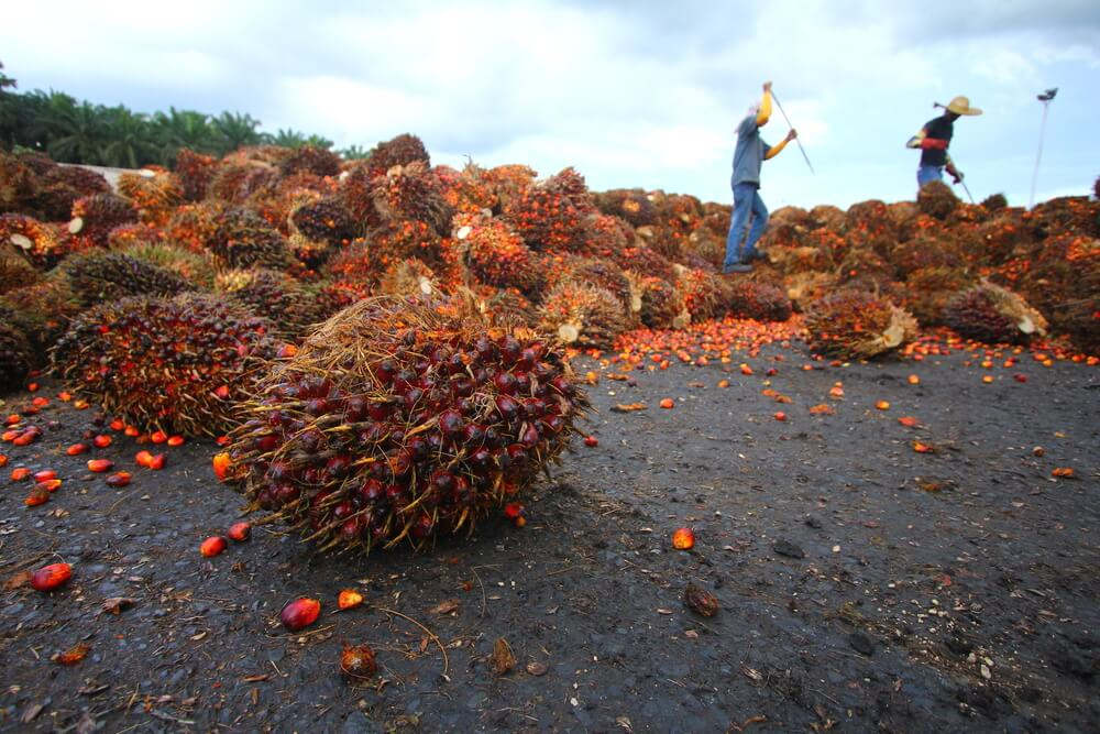 Palm oil bunches